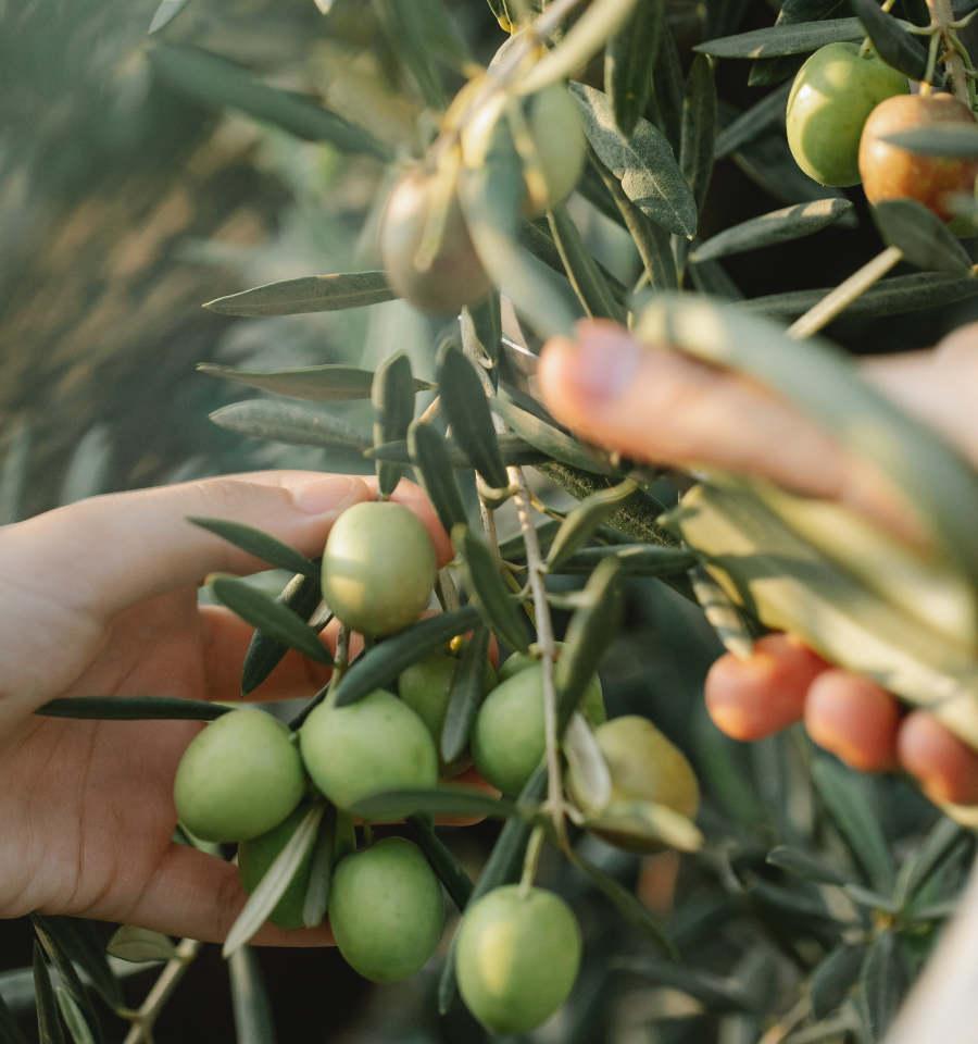 olívaszüret